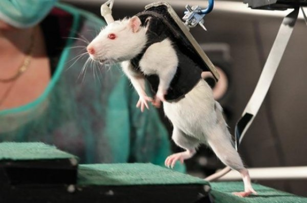 paralyzed-rats