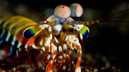 mantis-shrimp-eyes