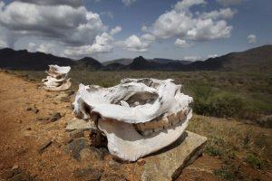 rhino-skull