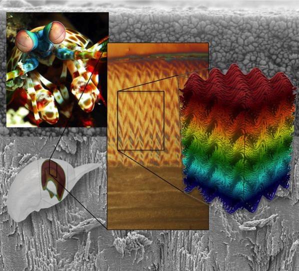 Ultra strong 3d printed material inspired natural herringbone pattern mantis shrump 2