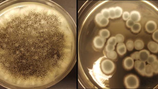 Fungi lithium recycle 1