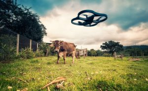 drone+and+cow