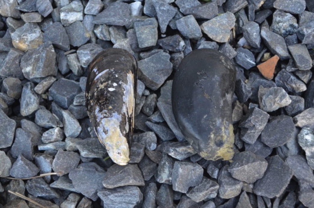 Robotic Mussels Track Rising Temperatures for Climate Research The New York Times