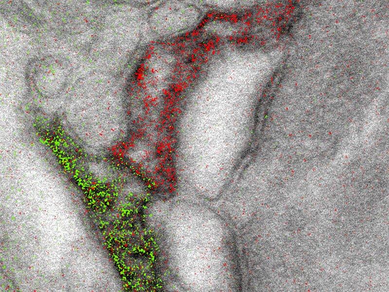 Astrocytes overlay scale jpg 800x600 q85 crop