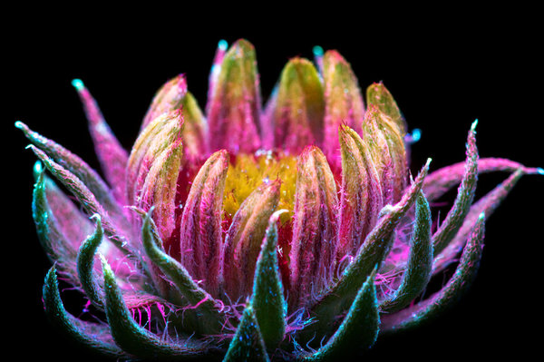 Check Out These Photos of Flowers in UV Light | #Ultraviolet #CelebratePhotography