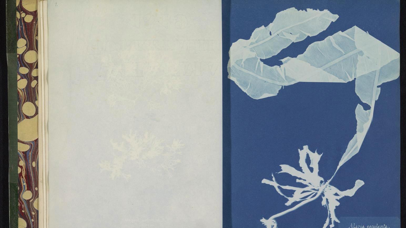 1495552449890 Anna Atkins Photographs of British Algae Cyanotype Impressions 1843 1853 RP F 2016 133 00 1 p1bgqtngfh6km174gqmcrafjsa