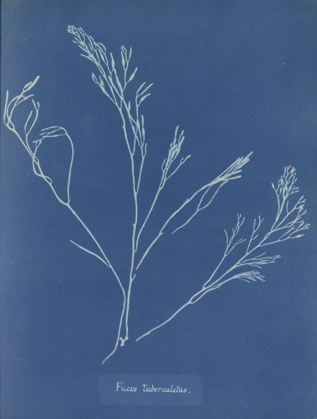 1495552511271 Anna Atkins Photographs of British Algae Cyanotype Impressions 1843 1853 RP F 2016 133 00 4 uitsnede p1bgqtgq7vjs91lcd1hou1gr41ch4