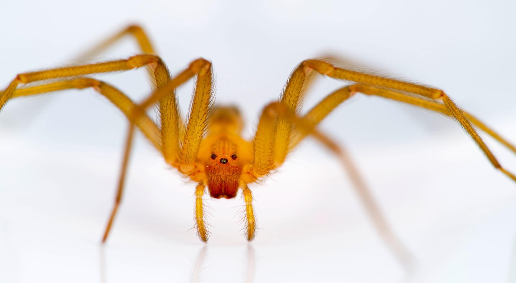 Chilean recluse spider Loxosceles laeta