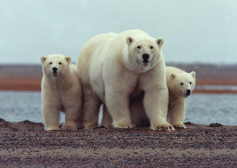 Polar bear with young ANWR