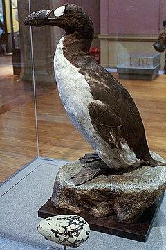 240px Great Auk Pinguinis impennis specimen Kelvingrove Glasgow geograph org uk 1108249