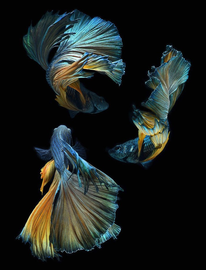 The Elegant And Fantastic Poses Of Aquarium Fish Captured By A Thai Photographer 5b713a14e7e5b 700