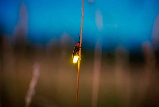11 Cool Things You Never Knew about Fireflies Scientific American Blog Network