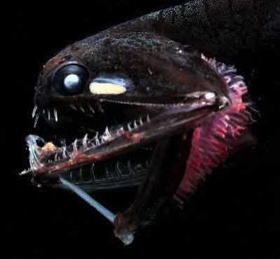 Dragonfish 1
