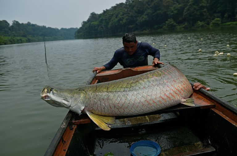 Fishermen load a recenly catched arapaima also known as news photo 1571342243