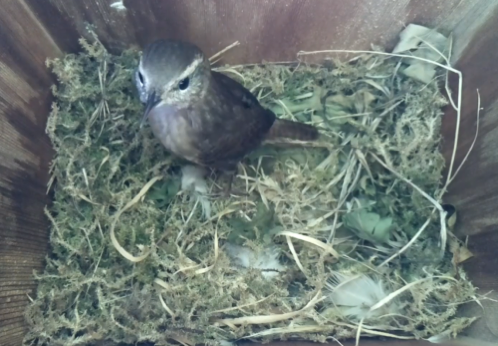 Wren nest on birdbox camera1 500x347