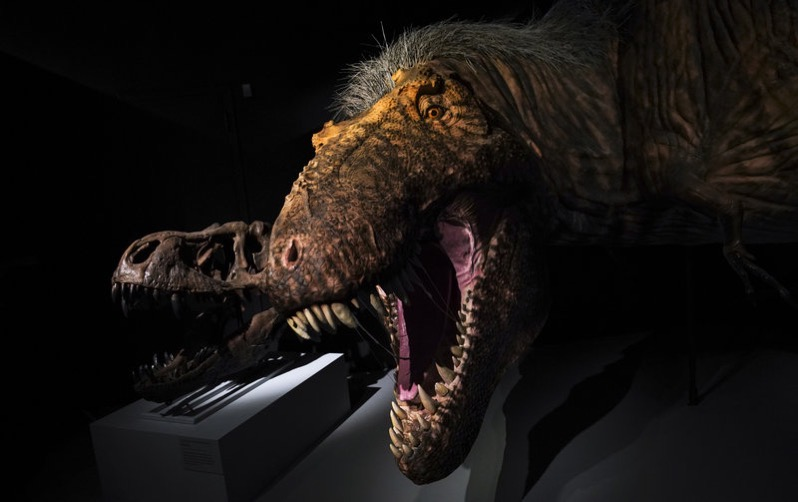 Dinosaur with mouth wide open in front of a museum display Dino skull