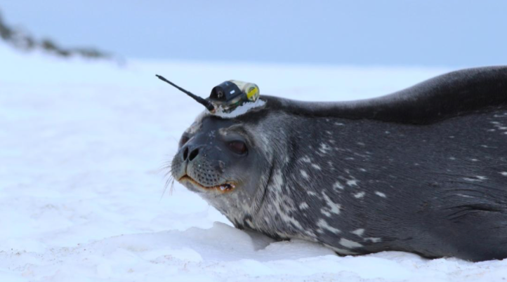 Antarctic seals are helping scientists learn more about melting glaciers CNN