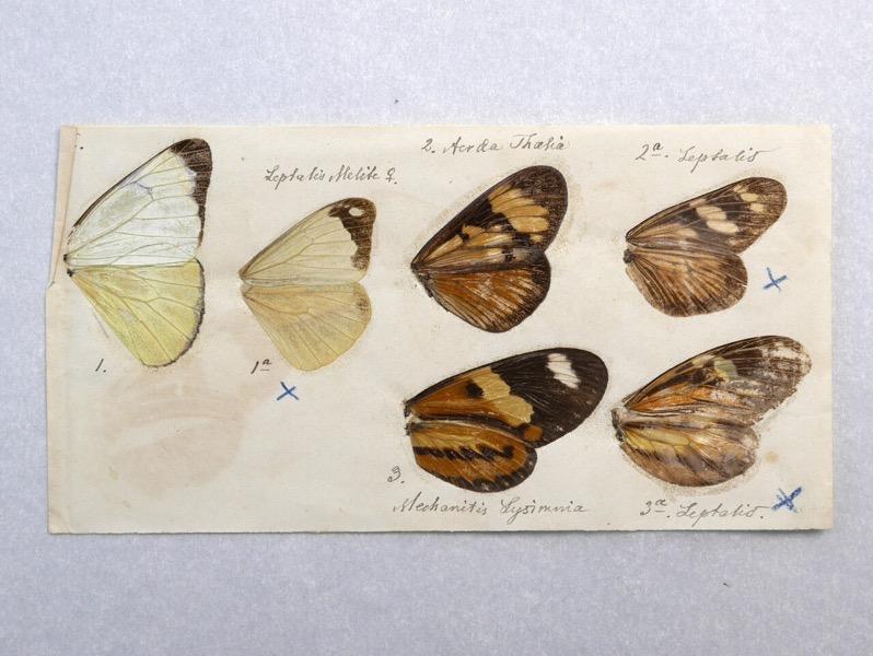 Butterfly wings Darwin5
